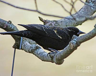 Photograph - Blackbird 10 by Lizi Beard-Ward