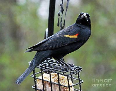 Photograph - Blackbird 13 by Lizi Beard-Ward