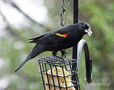 Photograph - Blackbird 14 by Lizi Beard-Ward