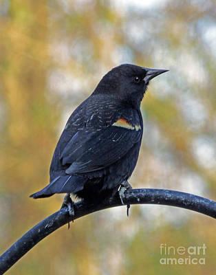 Photograph - Blackbird 17 by Lizi Beard-Ward