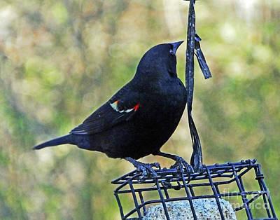 Photograph - Blackbird 18 by Lizi Beard-Ward