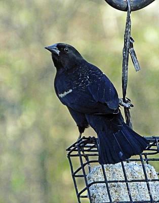 Photograph - Blackbird 19 by Lizi Beard-Ward