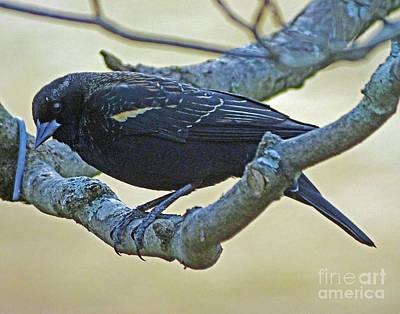 Photograph - Blackbird 6 by Lizi Beard-Ward