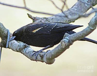 Photograph - Blackbird 7 by Lizi Beard-Ward