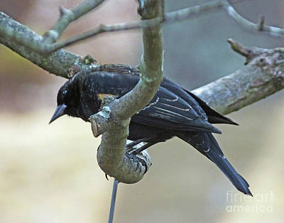 Photograph - Blackbird 9 by Lizi Beard-Ward