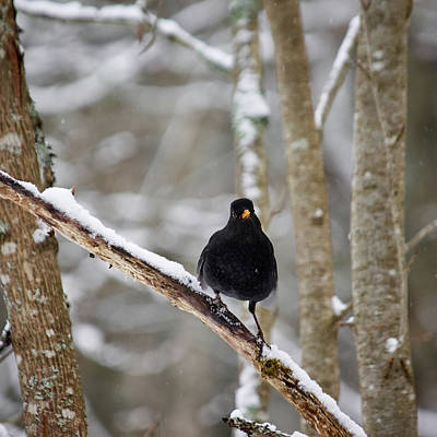 Photograph - Blackbird Attitude by Jouko Lehto