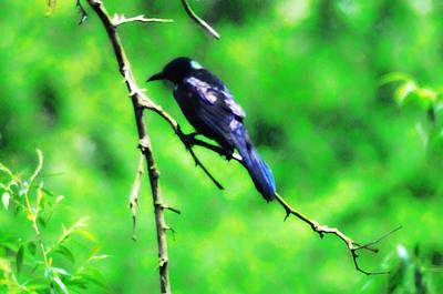 Blackbird Art Print by Bill Cannon