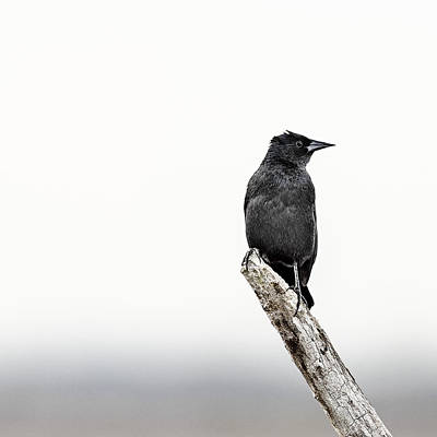 Bare Trees Photograph - Blackbird by Humboldt Street