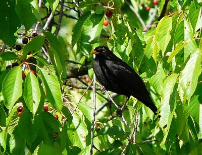 Photograph - Blackbird In The Cherry Tree by Valerie Ornstein