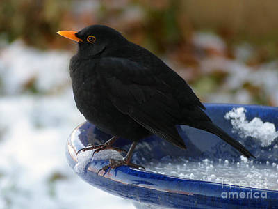 Photograph - Blackbird In Winter by Phil Banks
