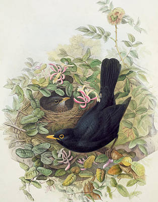 Blackbird Drawing - Blackbird,  by John Gould