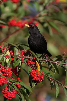 Photograph - Blackbird Red Berries by Peter Walkden