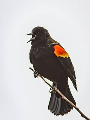 Photograph - Blackbird Singing by Jean Noren