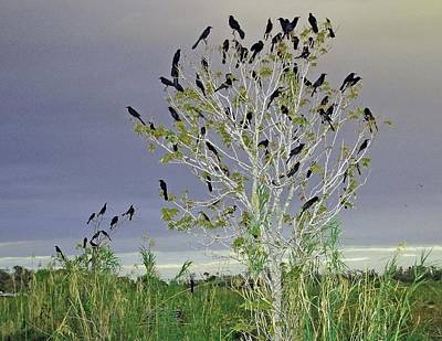 Photograph - Blackbird Tree by Michael Raiman
