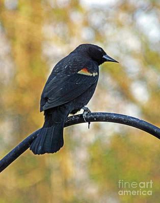 Photograph - Blackbird16   by Lizi Beard-Ward