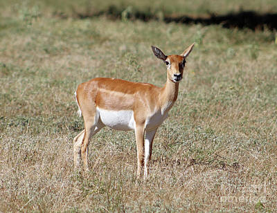 Photograph - Blackbuck Antelope by Inspirational Photo Creations Audrey Woods