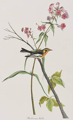 Warbler Painting - Blackburnian Warbler by John James Audubon