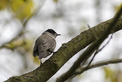 Priska Wettstein Pink Hues - Blackcap  by Chris Smith
