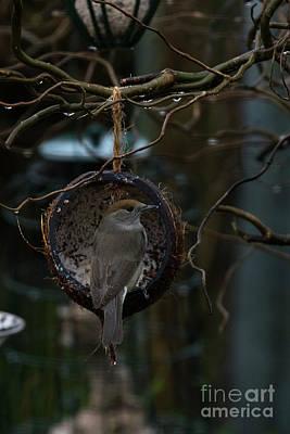 Photograph - Blackcap Sylvia Atricapilla by Brian Roscorla