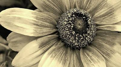 Photograph - Blackeyed Susan In Sepia 2 by Bruce Bley