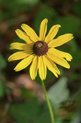 Photograph - Blackeyed Susan by Paul Rebmann