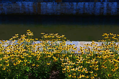 Photograph - Blackeyed Susans - Frederick Md by Dana Sohr