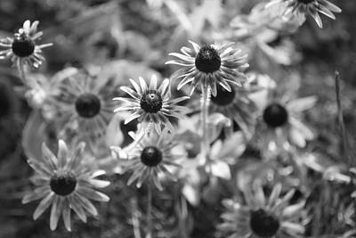Blackeyed Susans In Black And White Art Print by Paula Coley
