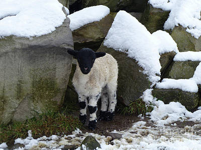 Photograph - Blackface Lamb - Rock Shelter by Phil Banks