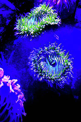 Photograph - Blacklight Sea Anemone by Nadalyn Larsen