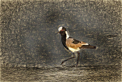 Photograph - Blacksmith Lapwing Aka Blacksmith Plover Da Vinci by Kay Brewer