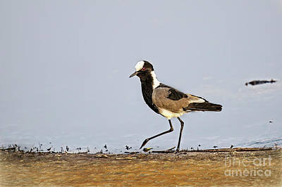 Photograph - Blacksmith Lapwing Aka Blacksmith Plover by Kay Brewer