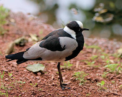 Photograph - Blacksmith Lapwing by Baggieoldboy