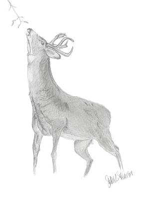 Drawing - Blacktail  Buck by Sara Stevenson