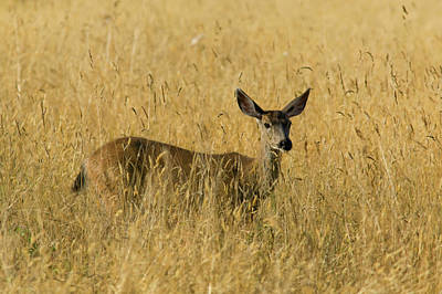 Blacktail Deer In Tall Grass Print by Randall Ingalls