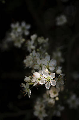 Photograph - Blackthorn Flowers by David Isaacson