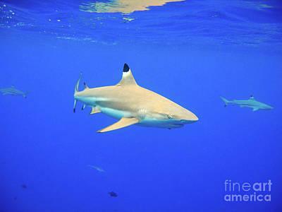 Blacktip Reef Shark Art Print