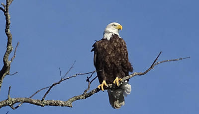 Photograph - Bald Eagle by Mary Halpin