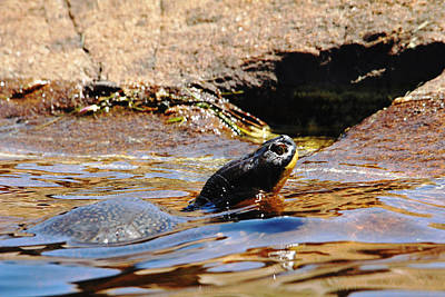Photograph - Blanding's Turtle by Debbie Oppermann