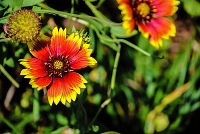 Photograph - Blanket Flower by Chris Coffee