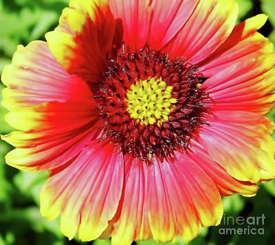 Photograph - Blanket Flower by D Hackett