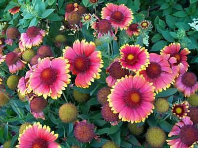 Photograph - Blanket Flower by Sharon Duguay