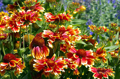 Blanket Flowers Print by Sharon Talson