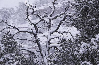 Photograph - Blanket On Bare Branches by Laura Pratt