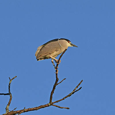 Photograph - Black-crowned Night Heron by Ken Stampfer