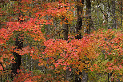 Photograph - Blaze Of Autumn by Michele Burgess