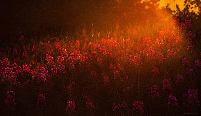 Photograph - Blazing Fireweed At Sunset by Marty Saccone