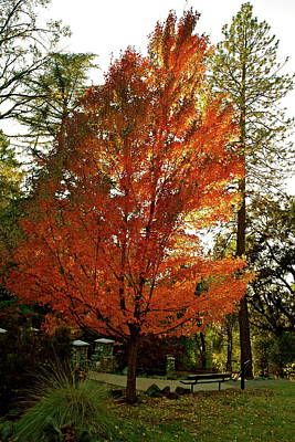 Photograph - Blazing Maple Flame by Michele Myers