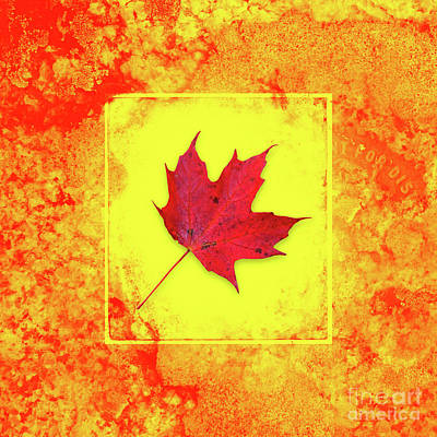 Photograph - Blazing Red Autumn Maple Leaf by John Stephens