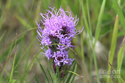 Photograph - Blazing Star by Ann E Robson