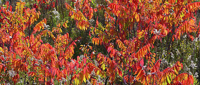 Photograph - Blazing Sumac Along Wisconsin Interstate by Ray Mathis